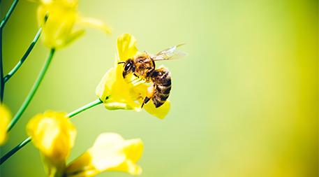 Honeybee on oilseed rape