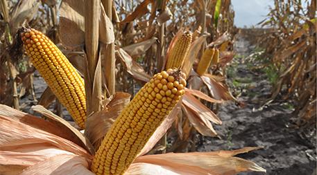Genuity Droughtgard hybrids in Texas