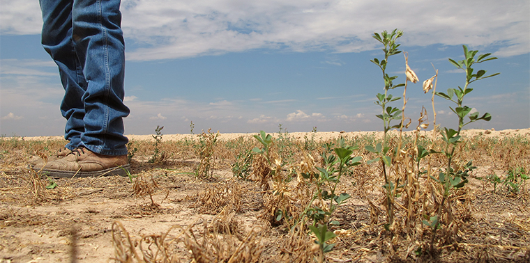 genetic engineering  quench crops thirst ensia