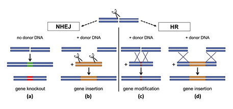 Genome editing with site-specific nucleases