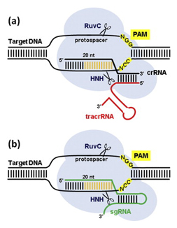 RNA-guided DNA cleavage by Cas9