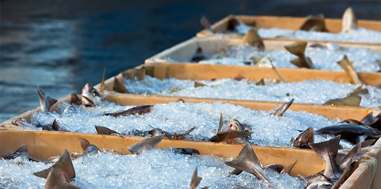 Fresh fish in shipping containers