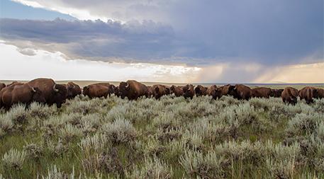 Bison at American Prairie Reserve
