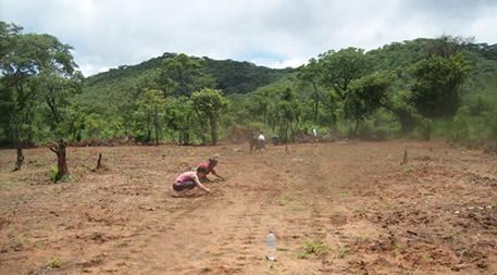 Planting moringa seedlings