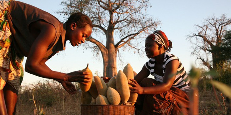 Native women with Baobab Fruit