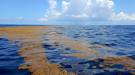 Sargassum in the Sargasso Sea