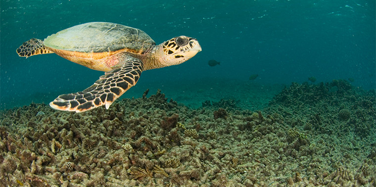 Turtle swims over degraded reef