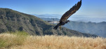 California condor released after completing treatment for lead contamination