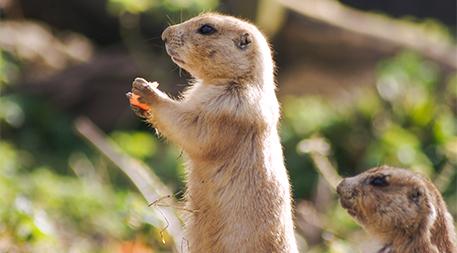 Prairie dog in alert position