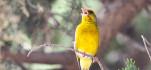 Songbird singing