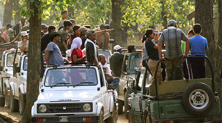 Rush of tiger sighting tourists in Kanha