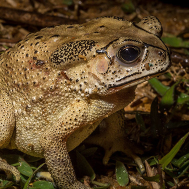 Can Madagascar get rid of this troubling toad before it's too late?