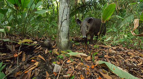 Tapir eating orange fruits scattered on the ground, showing seed dispersal