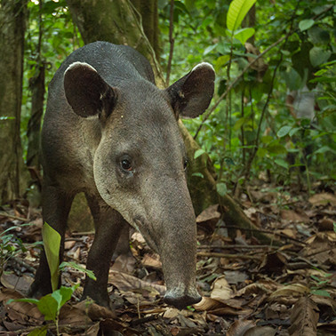 The surprising link between the tapirs of Costa Rica and climate change