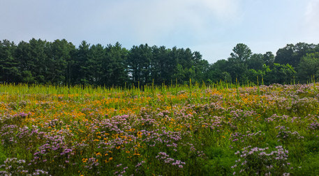 field of flowers for bees and other pollinators