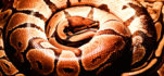 Can harvesting pythons contribute to their conservation?