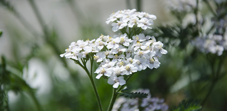 Yarrow Plant (Achillea millefolium), which is included on the Berkeley Open Source Food project website.