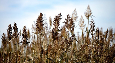This perennial sorghum hybrid combines an annual species with a perennial weed called johnsongrass.