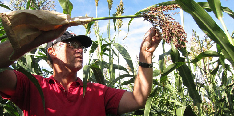Stan Cox examines the head of a perennial sorghum plant.
