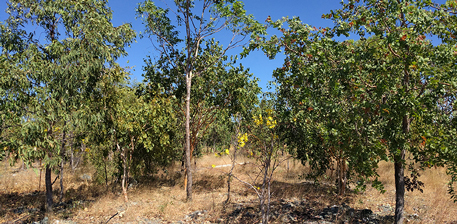 Successful tree establishment at Ranger's revegetation trials