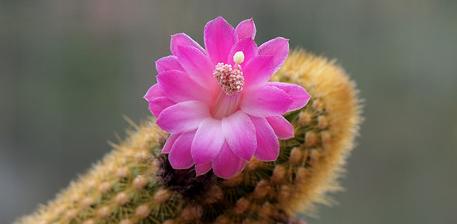Akersia roseiflora cactus