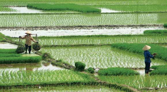 intensive rice paddies