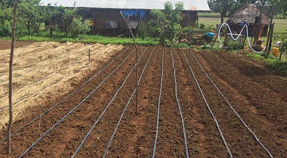 mulching and drip irrigation