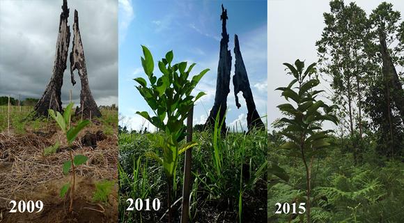 Borneo reforestation tree planting