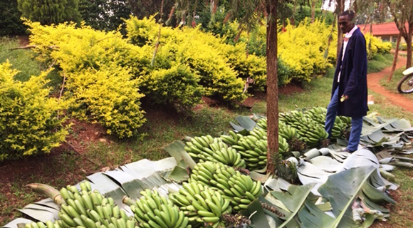 Bananas being collected from rural farmers before being transported to Nairobi.