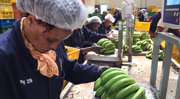 At the Twiga Foods warehouse in Nairobi unripened bananas are weighed and sorted before going into cold storage for six days of ripening