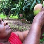 mango grower Cicily Wanjira