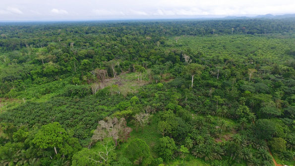 forest in Cameroon oil palm planting has begun
