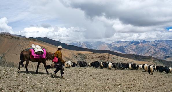 Tibetan nomad with yaks walking across Shey La pass in Dolpo region in the Nepal Himalaya