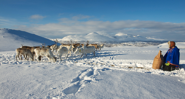Unidentified Saami man brings food to reindeers in deep snow winter, Tromso region, Northern Norway.