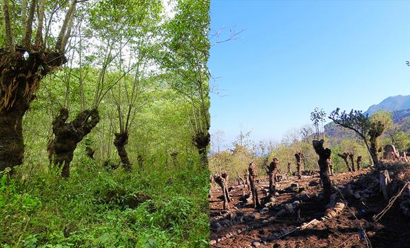 alder trees and farming in Khonoma.