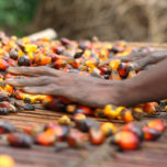Hands sorting palm oil