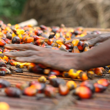 As palm oil production ramps up in Africa, communities work to avoid problems plaguing other regions