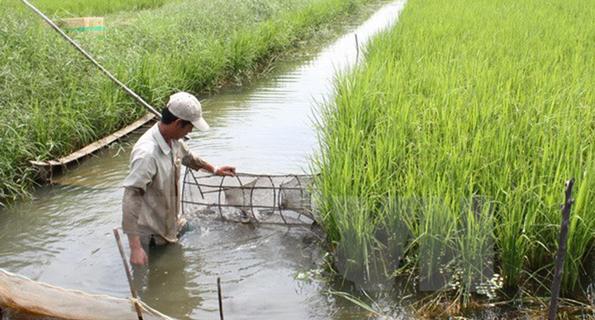 shrimp / prawn farming in the Mekong Delta