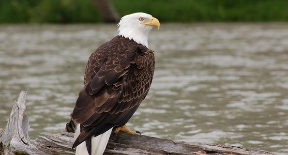 bald eagle cultural ecosystem services
