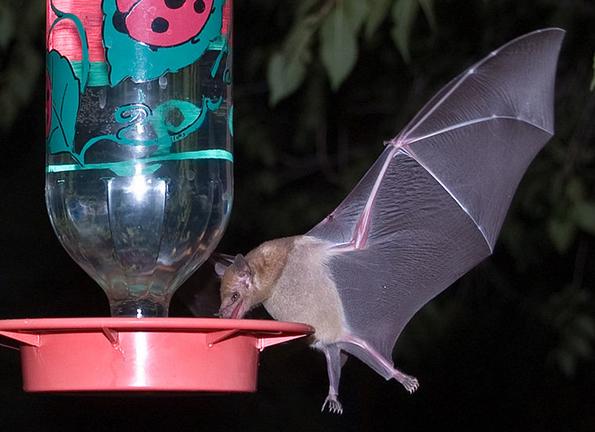 endangered lesser long-nosed bat