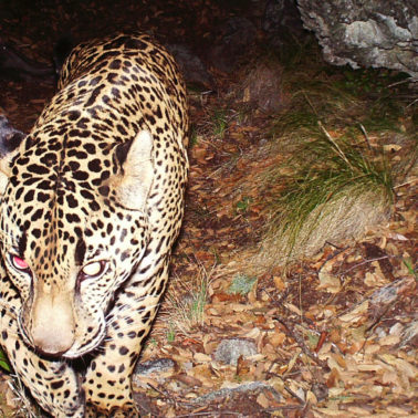 Can saving jaguars sustain local economies?