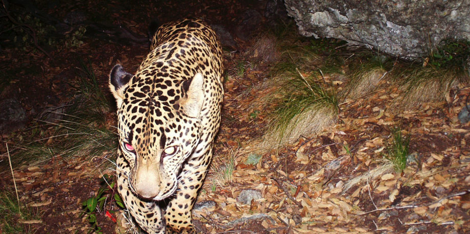 A jaguar known as El Jefe photographed by a remote-sensor camera in 2015 in Arizona. (Photo by Conservation CATalyst and the Center for Biological Diversity)