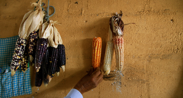 Native corn in Guatemala