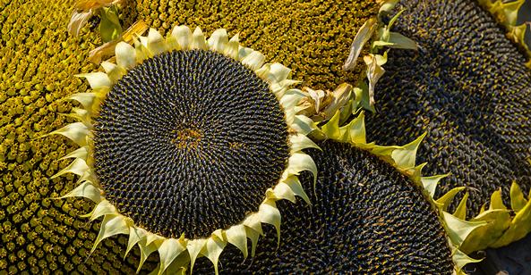 sunflower seed spiral pattern