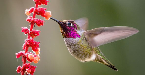Vancouver, Canada's official bird, Anna's hummingbird