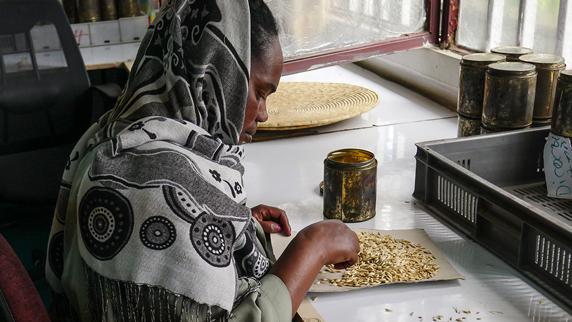 woman sorting Ethiopian barley seeds