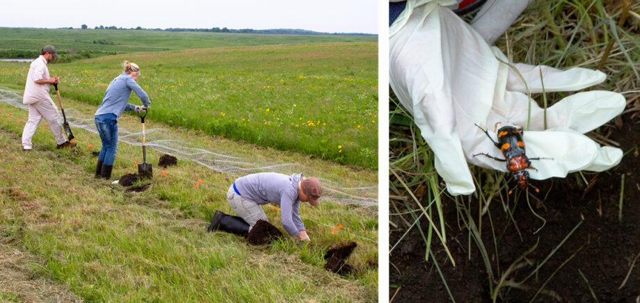 workers releasing American burying beetles