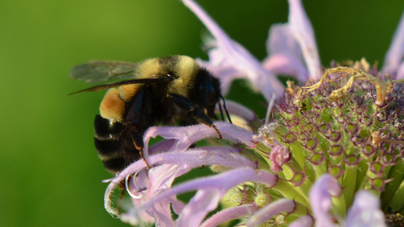 rusty patched bumble bee on flower