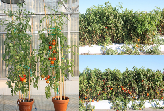 epigenetically modified tomato plants produce better than unmodified plants