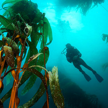Can the forests of the world's oceans contribute to alleviating the climate crisis?